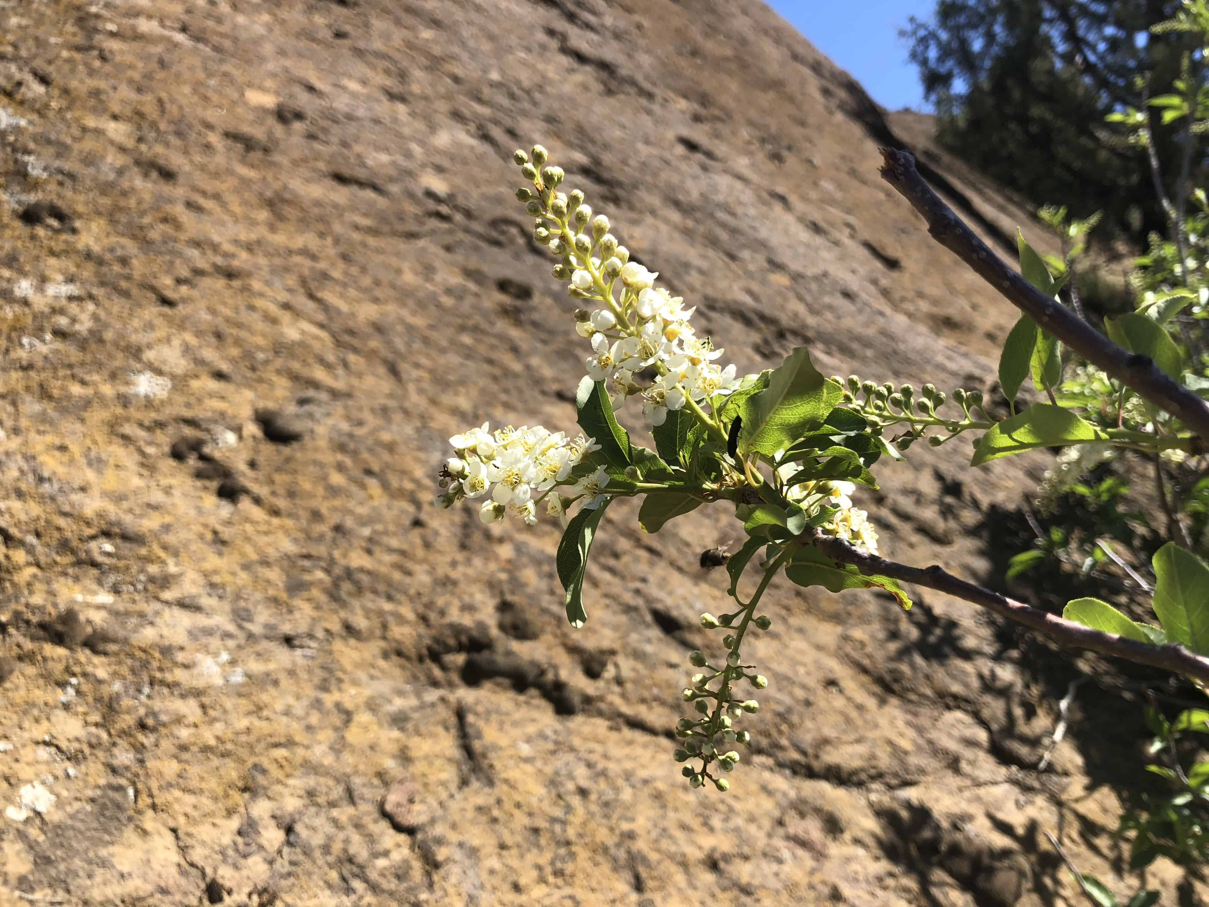 Flowers in the springtime in Central Oregon.