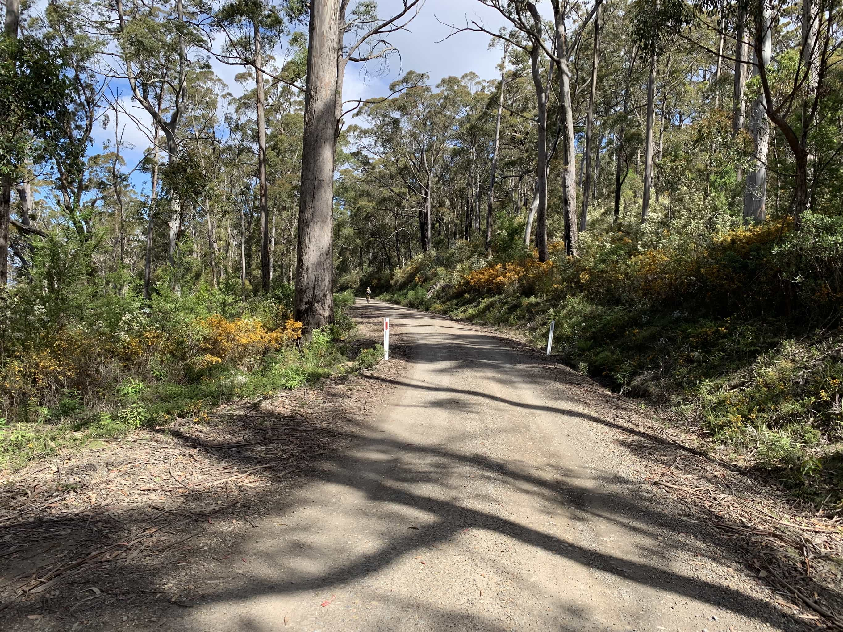 Gravel road high on ridge with big trees and plants in bloom.