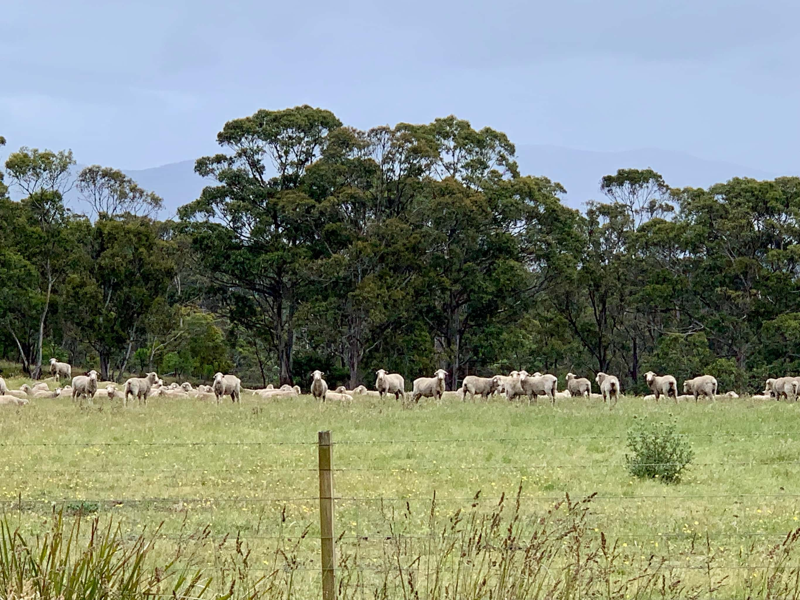 A flock of sheep grazing on North Bruny Island.
