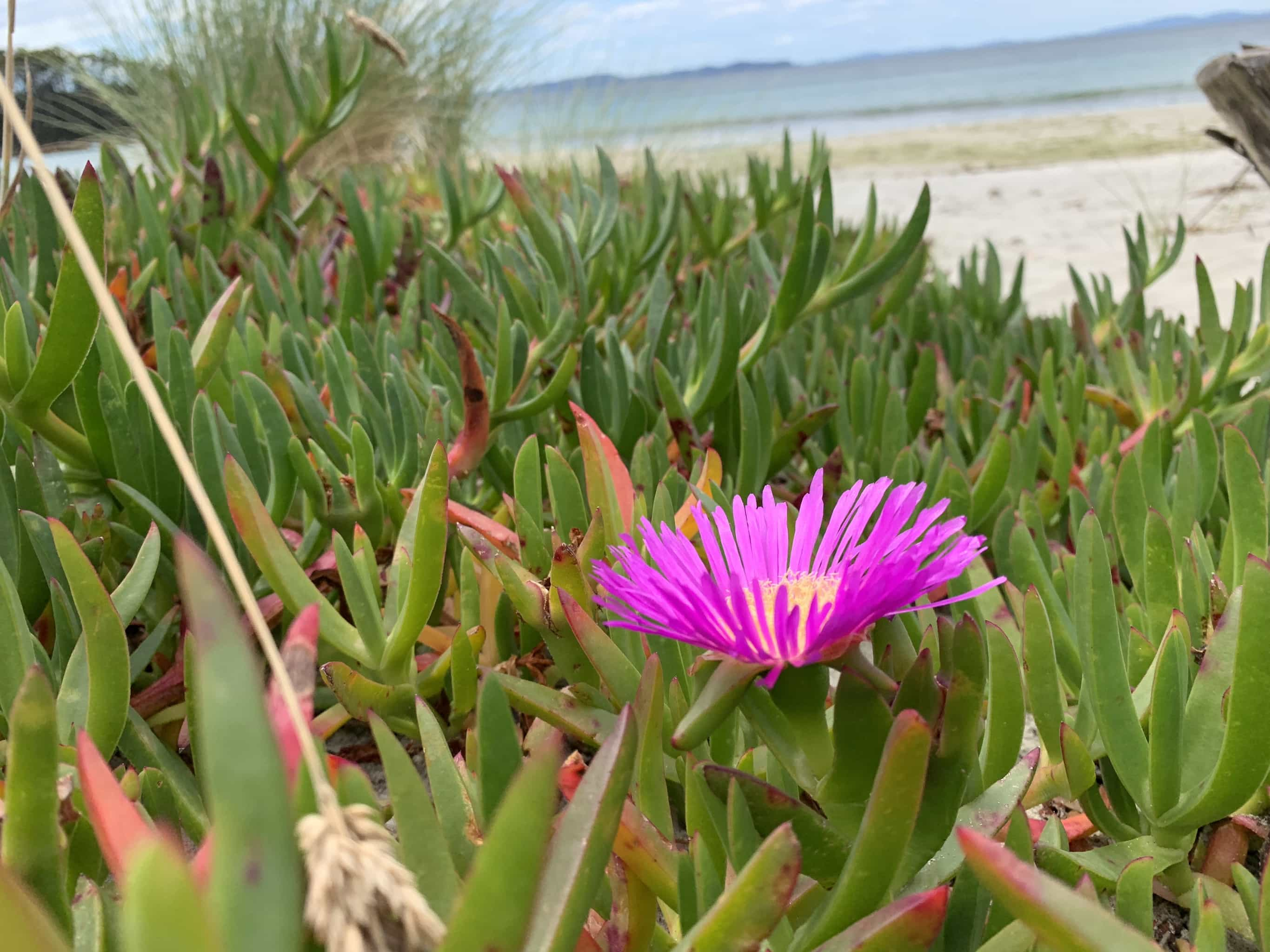 Pink flower on beach of Adventure Bay on South Bruny Island.