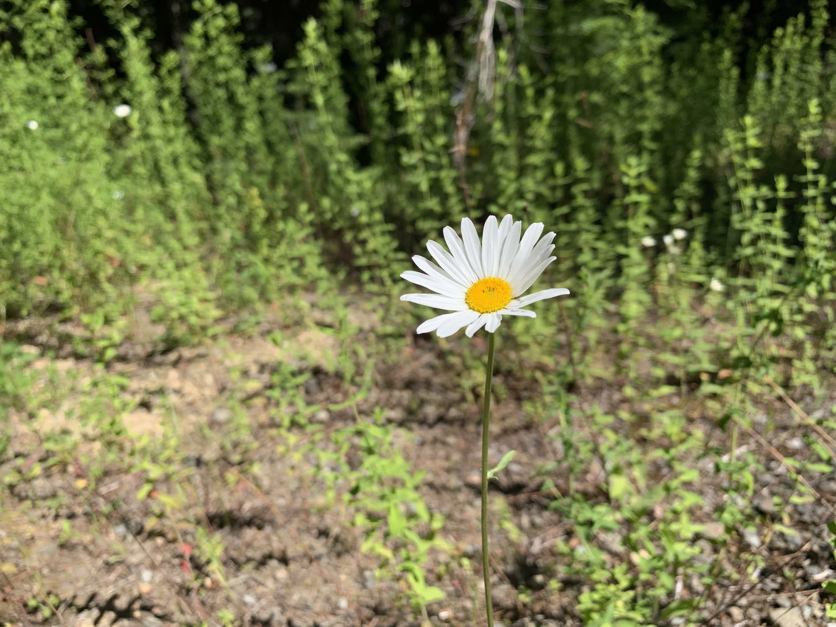 White daisy in bloom in the Gifford Pinchot National forest near Carson, WA.