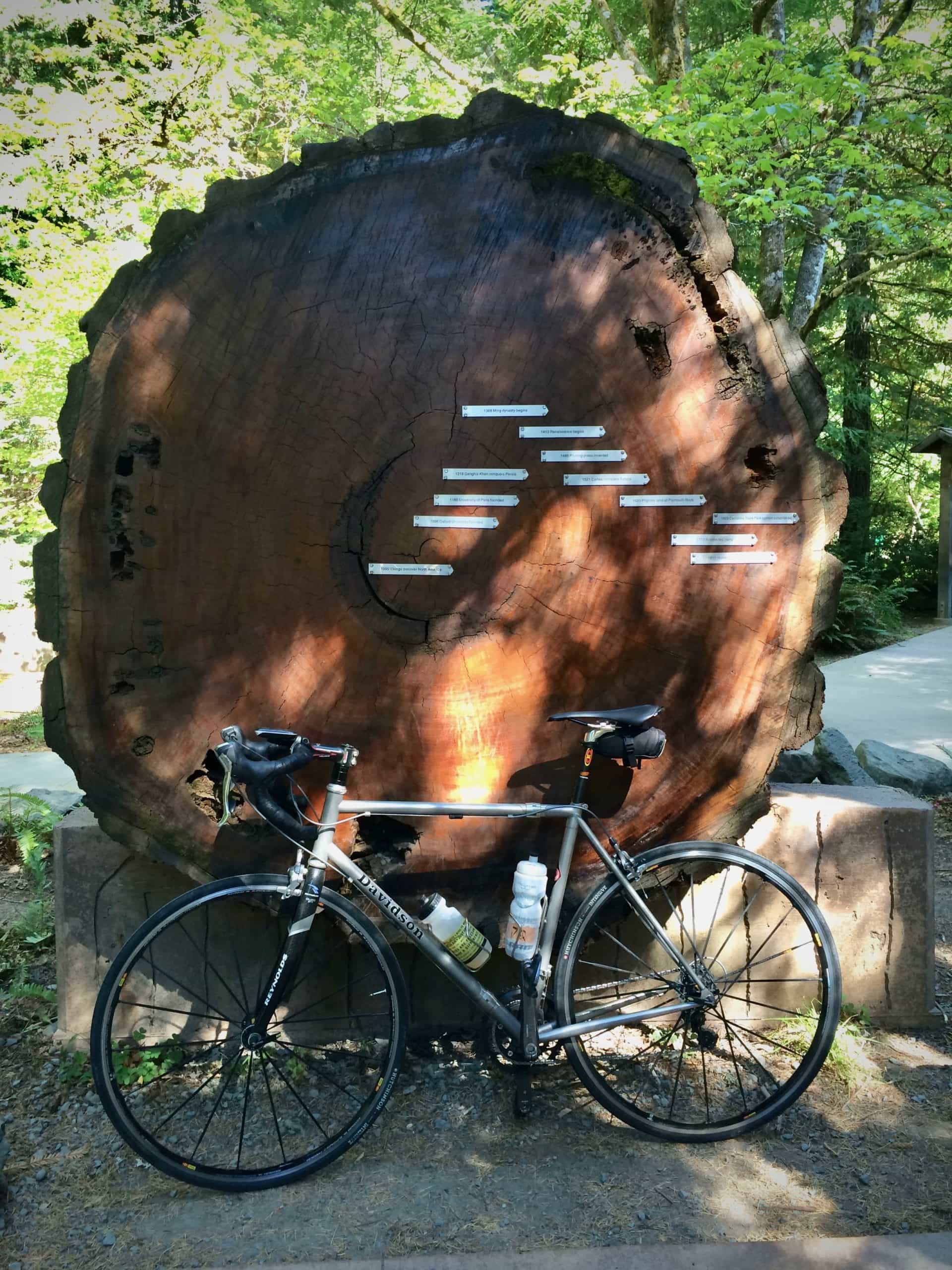 Bike next to large redwood tree cross cut. Along the Avenue of the Giants along the northern California coast.