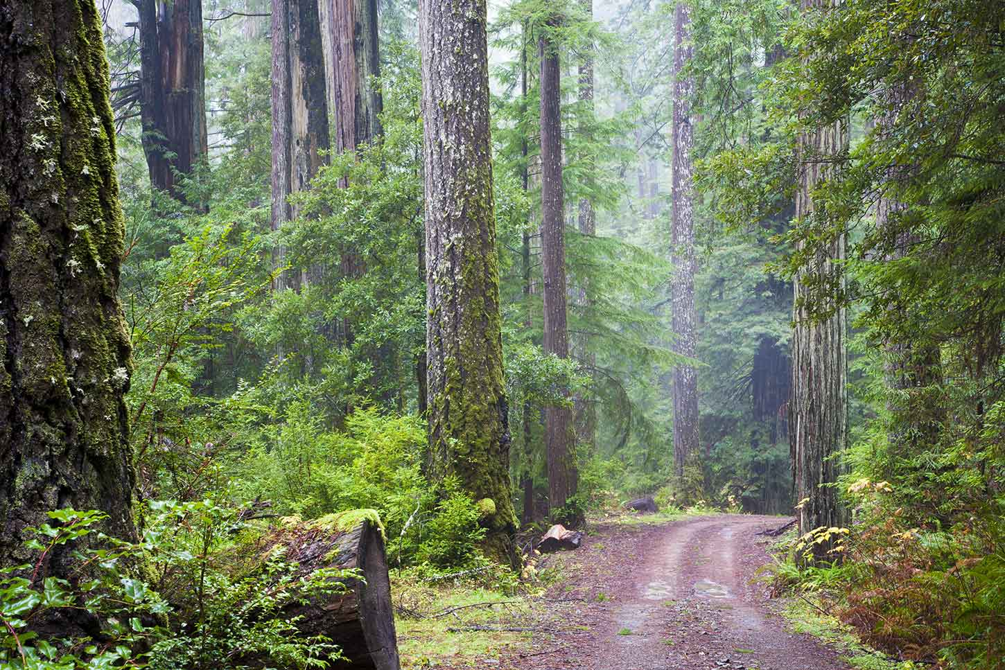 The Lost Man trail in the Redwoods National park in Northern California.