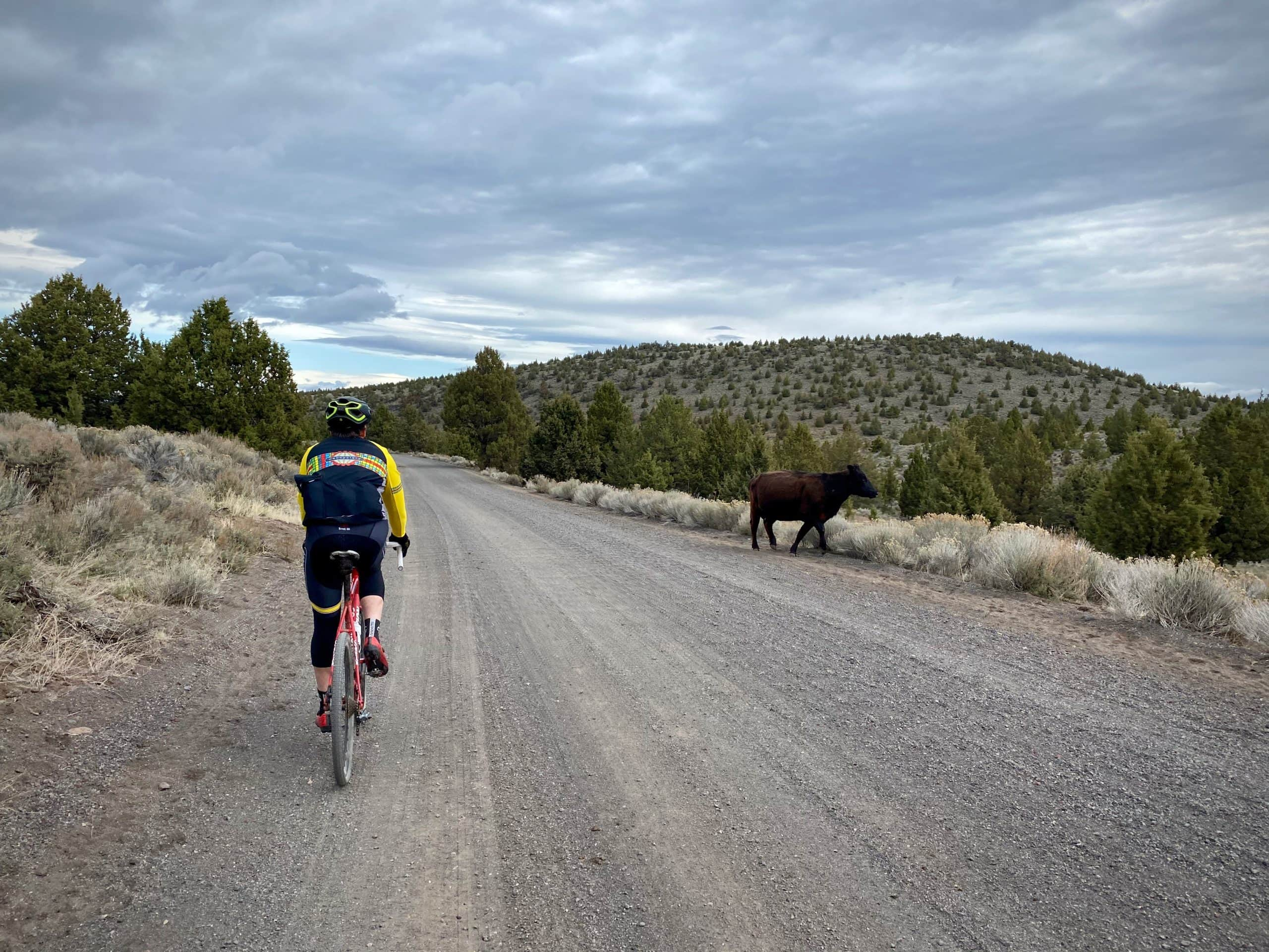 Cyclist passing by a free range cow near Pine Mountain and Millican valley.