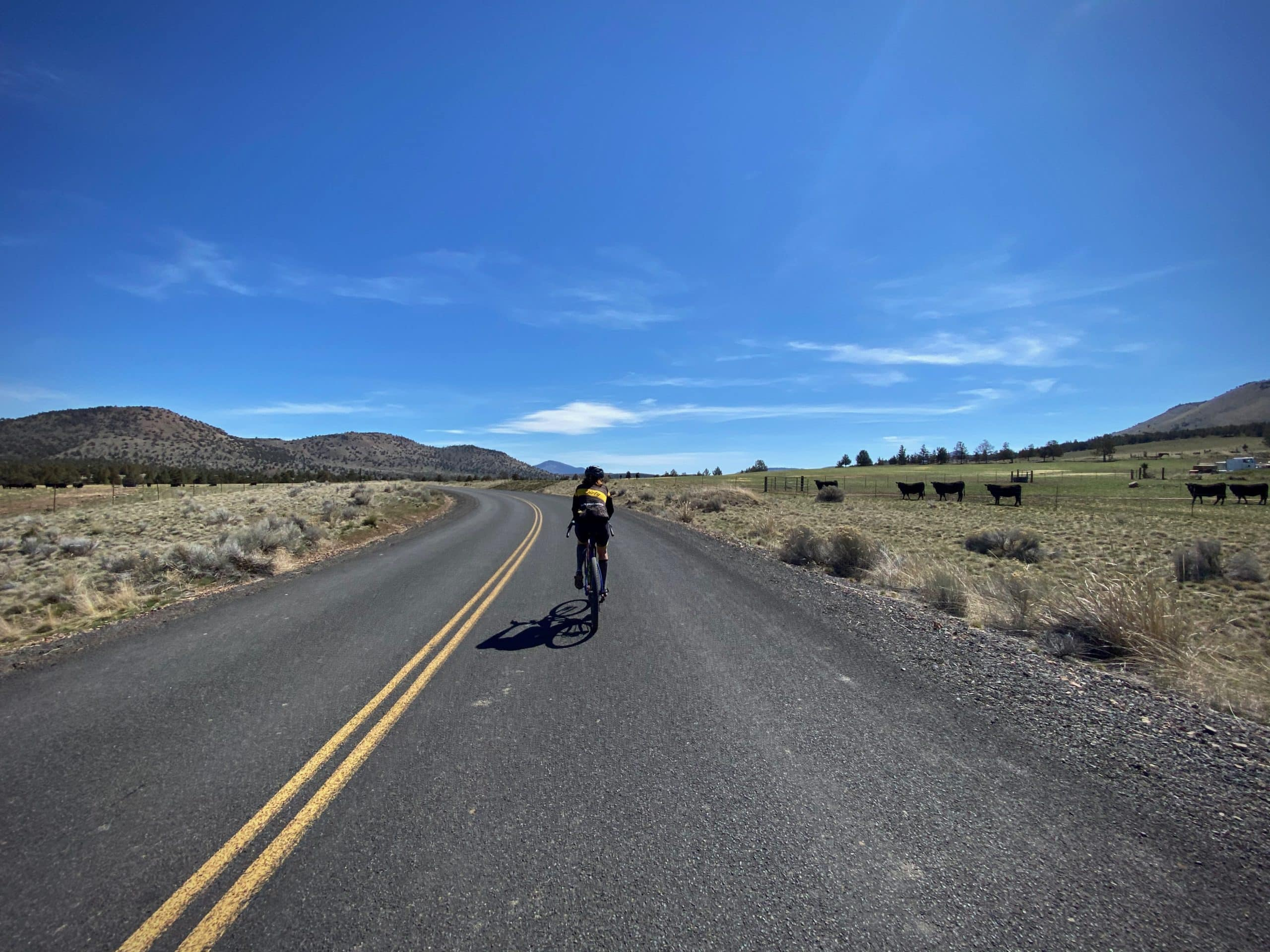 Woman cyclist on paved road with cows alongside. Near Madras and Terrebonne, Oregon.