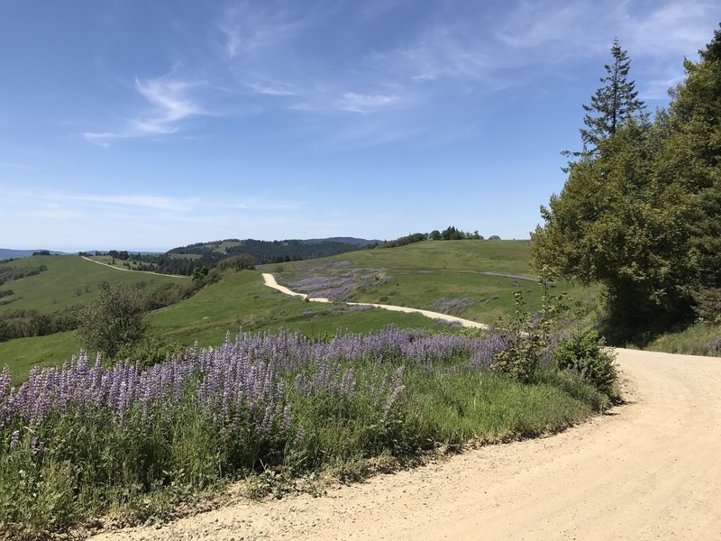 Lupine flowers in bloom along Bald Hills road in Redwood National park in northern California.
