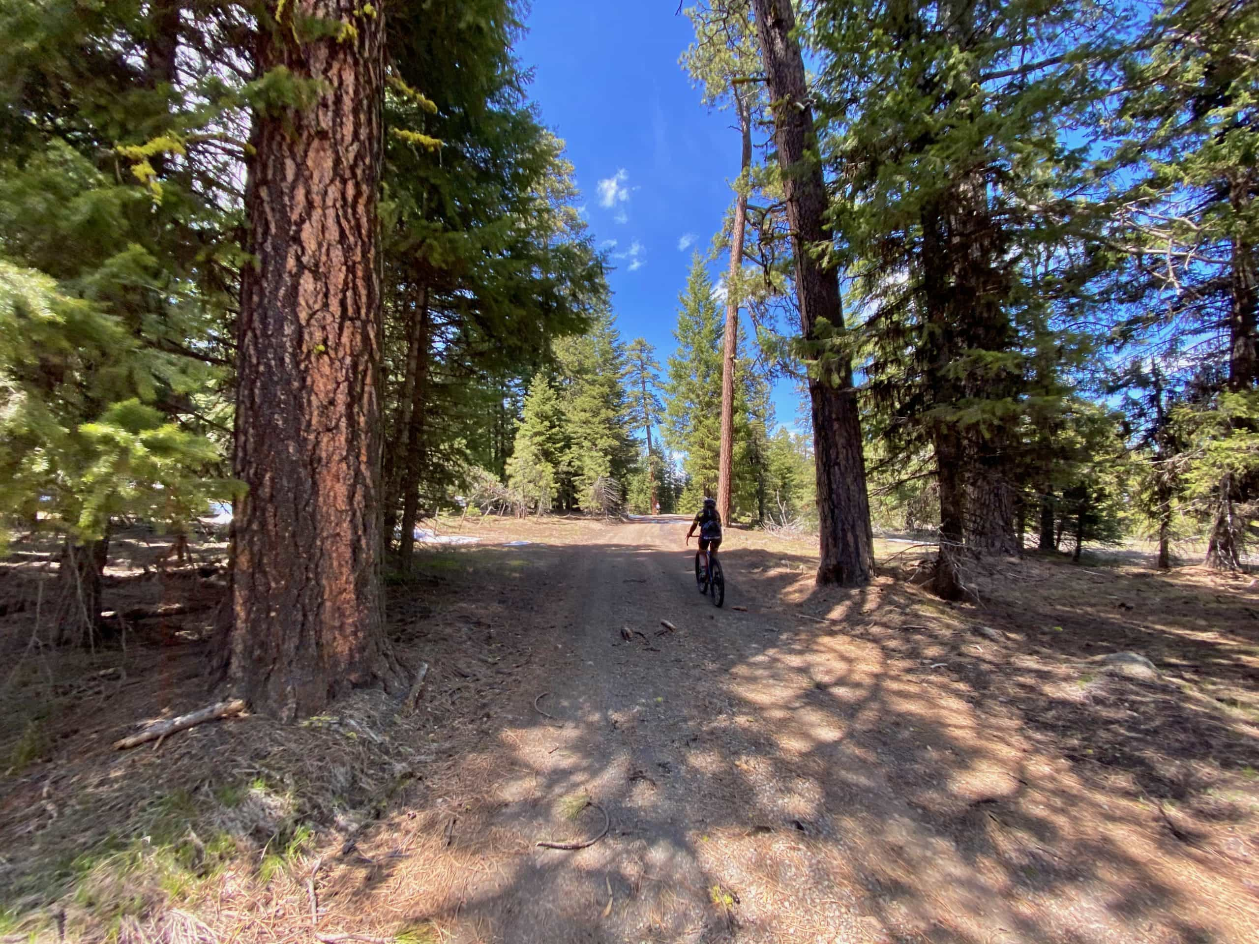 Gravel Girl riding between tall Ponderosa trees in the Ochoco National forest.