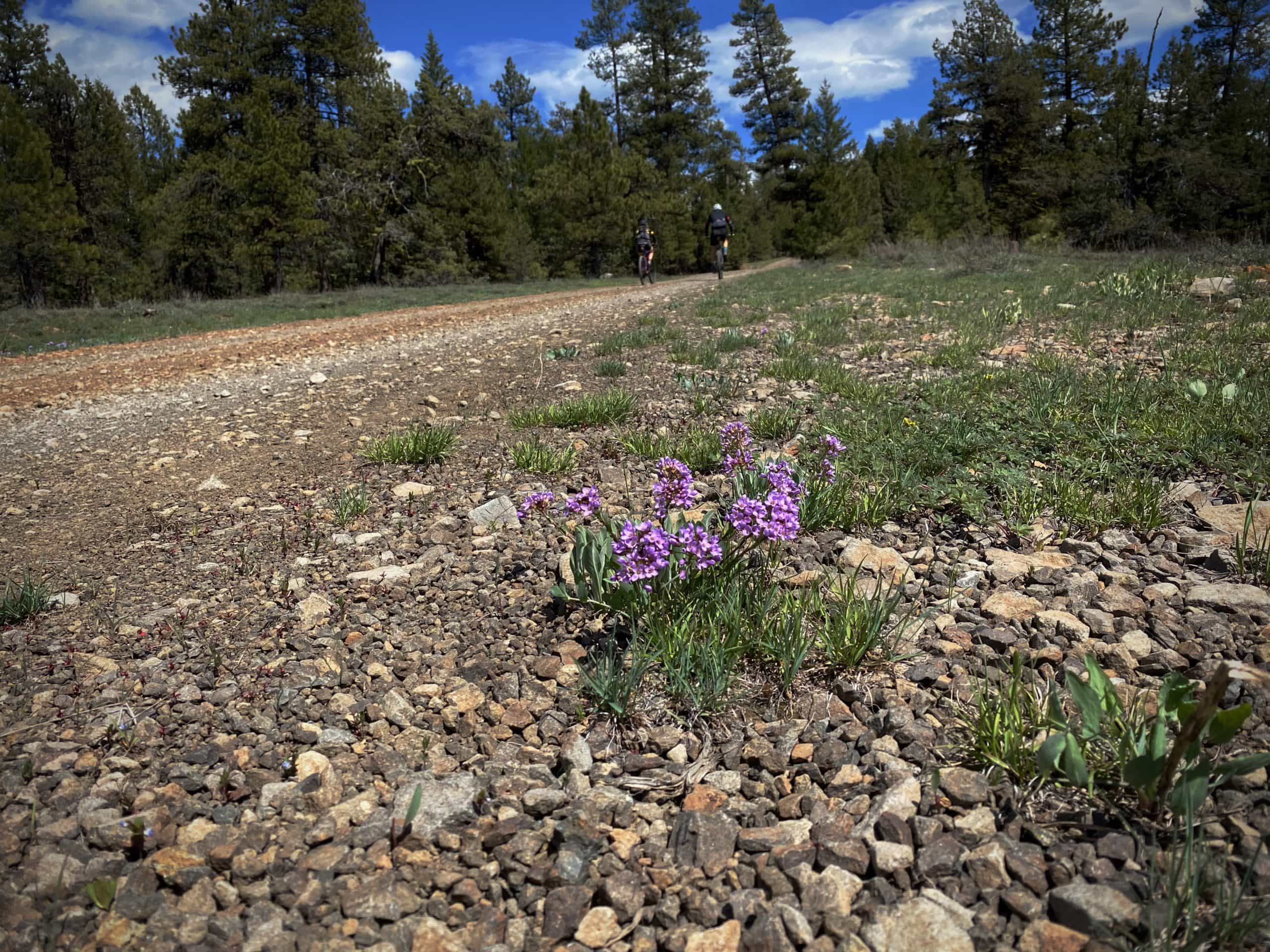Cyclists on gravel road with flowers in foreground. Near Prineville, OR.