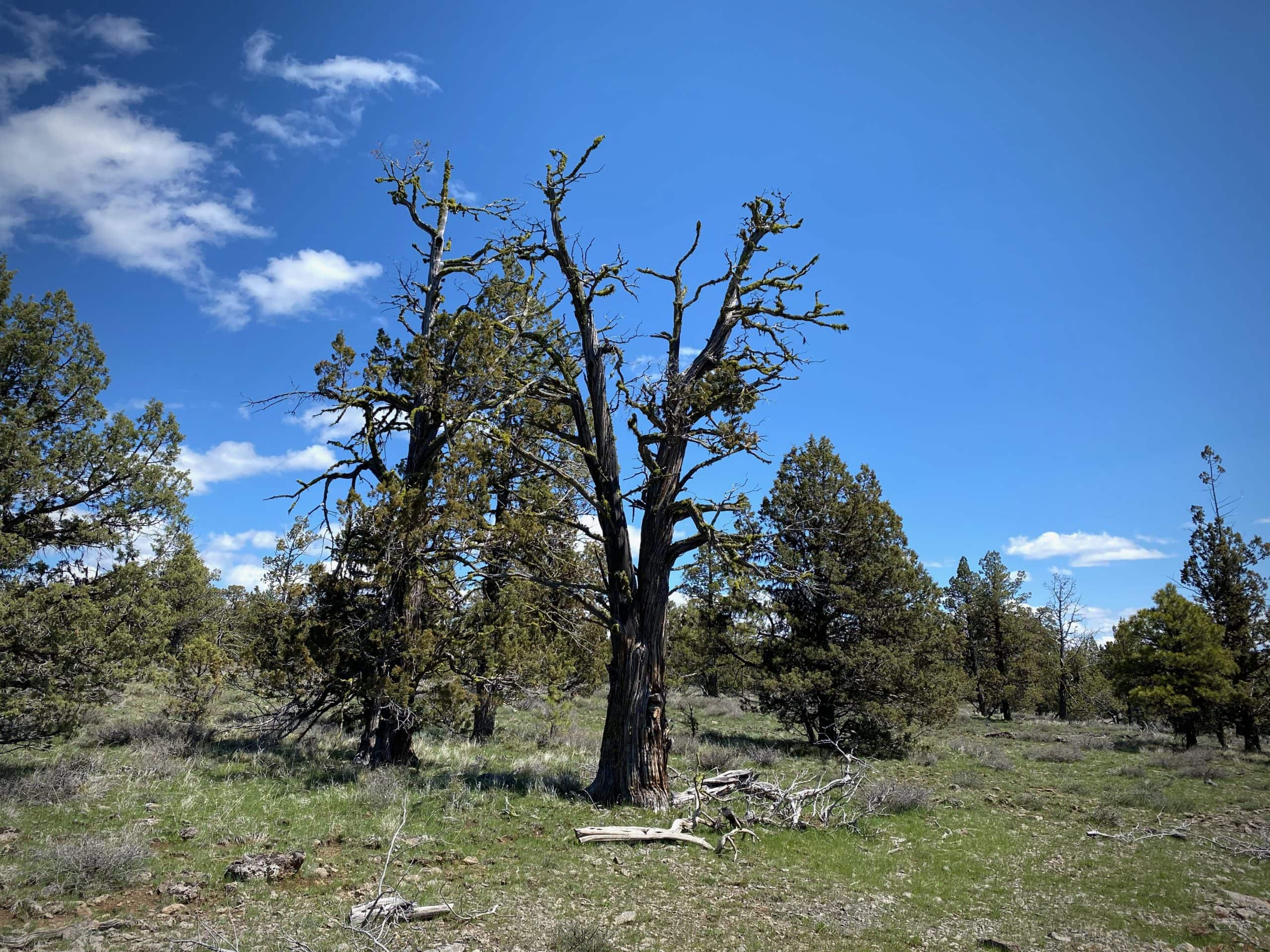 Tree in the Ochoco National forest with wolf moss and black moss.