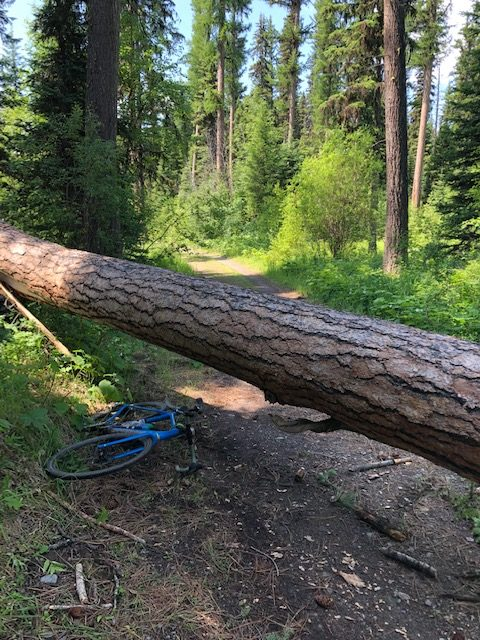 Gravel cyclist making way around a fallen tree on the Inside North Fork road in Montana.