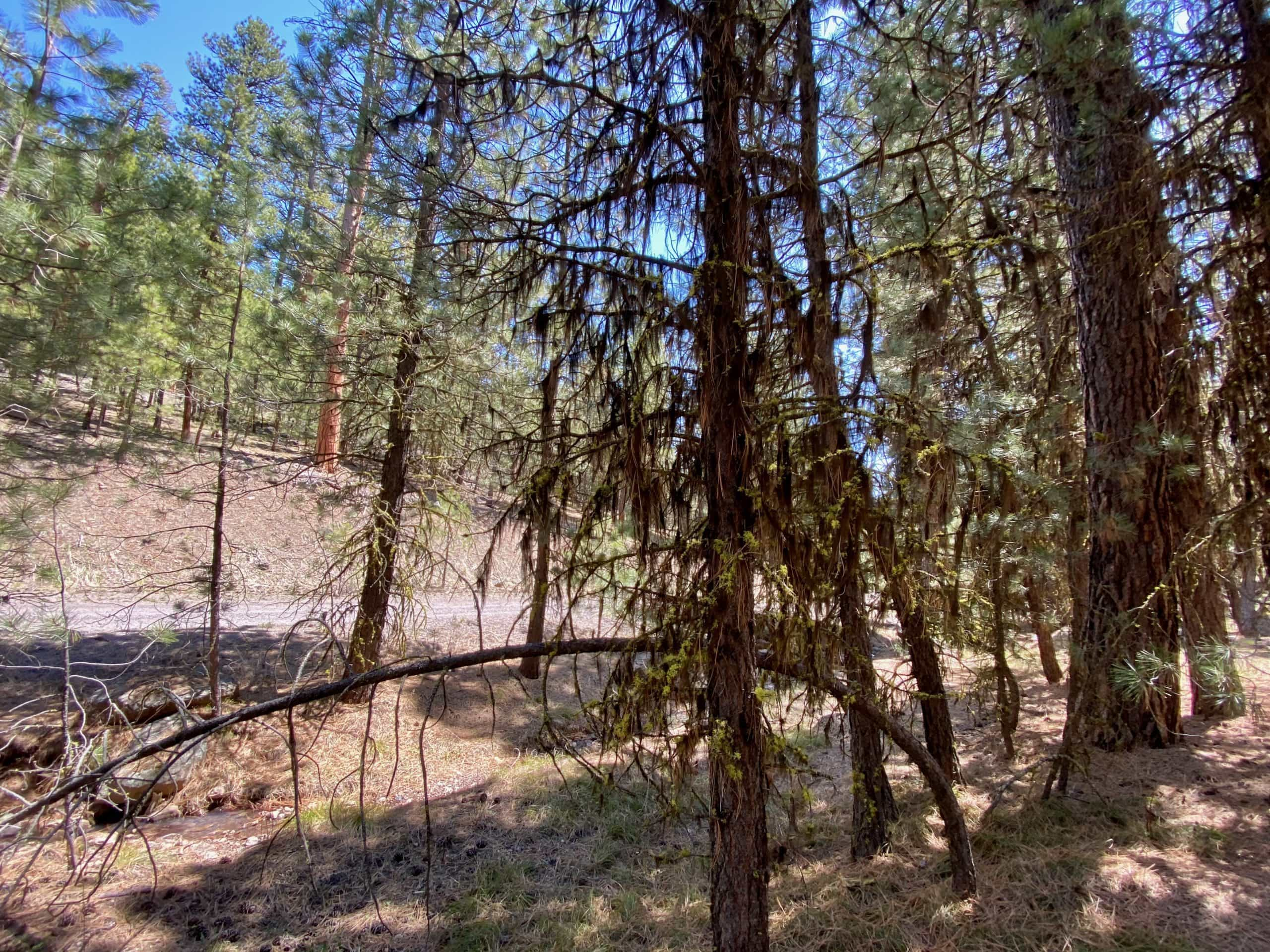 Trees with Wolf moss and Black (Wila) moss in the Ochoco National Forest near Riley, OR.