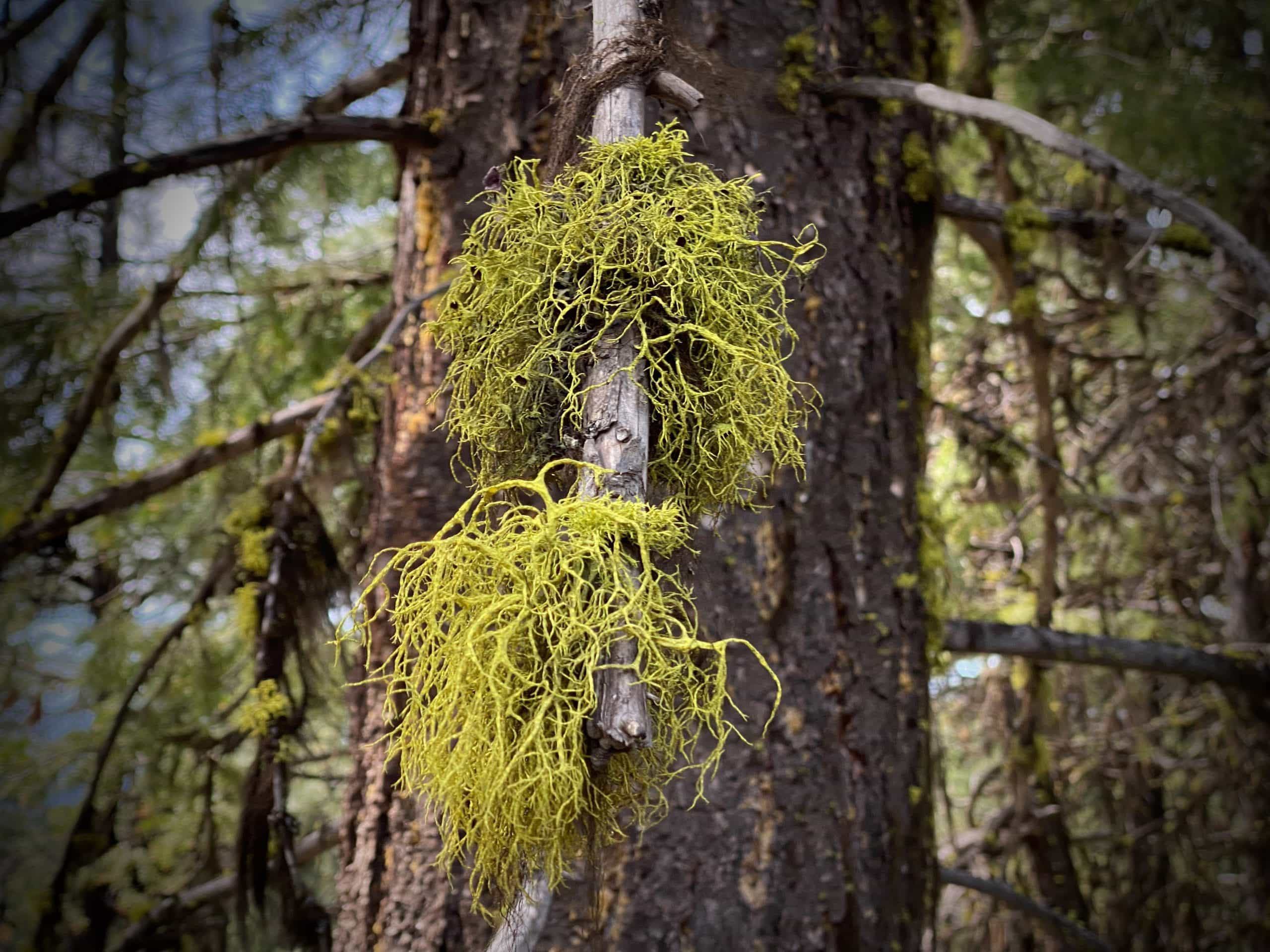 Wolf moss in tree. Found in the Ochoco mountains at 5000 to 6000 feet.