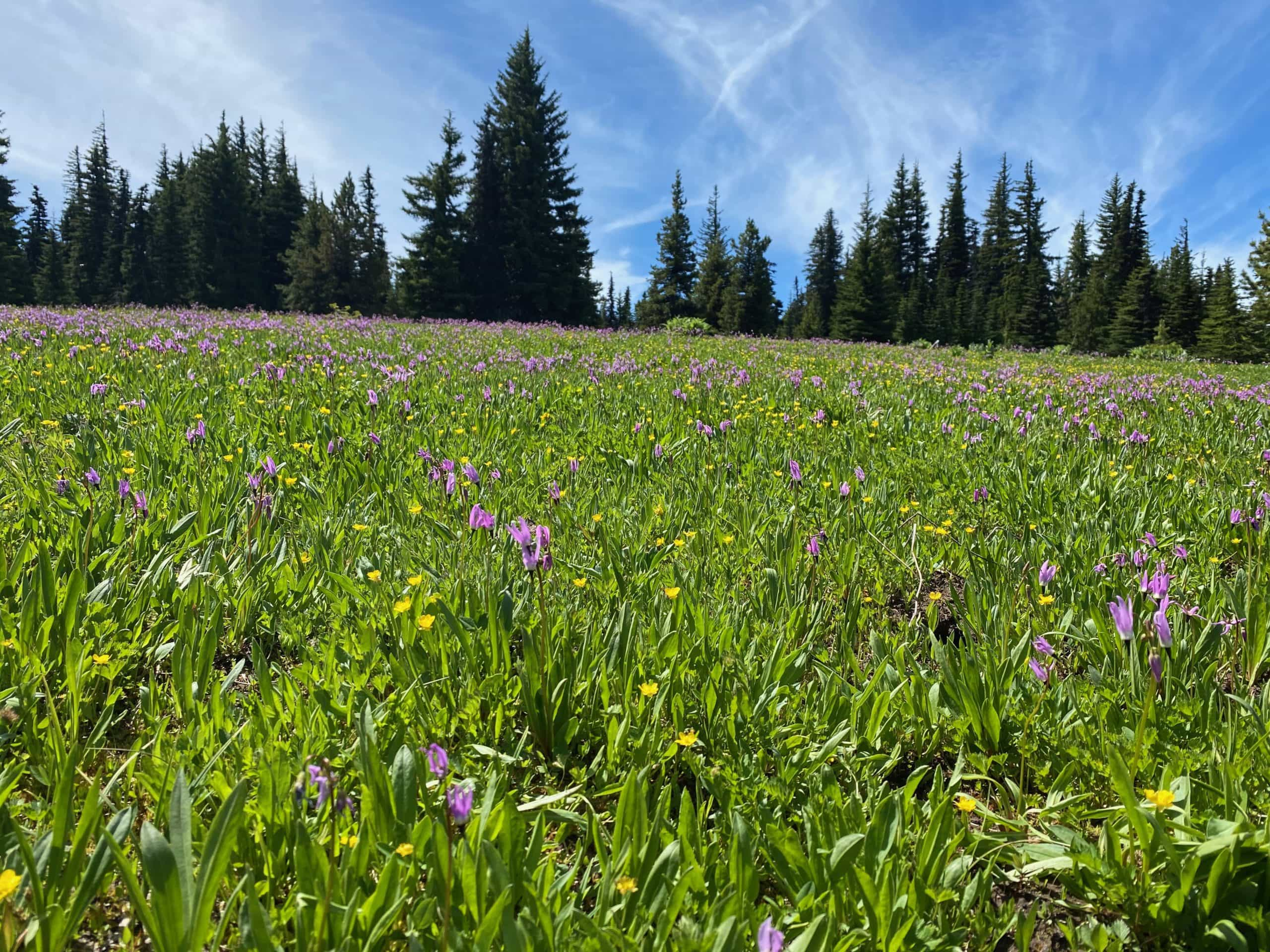 High Prairie in late June filled with flowers.