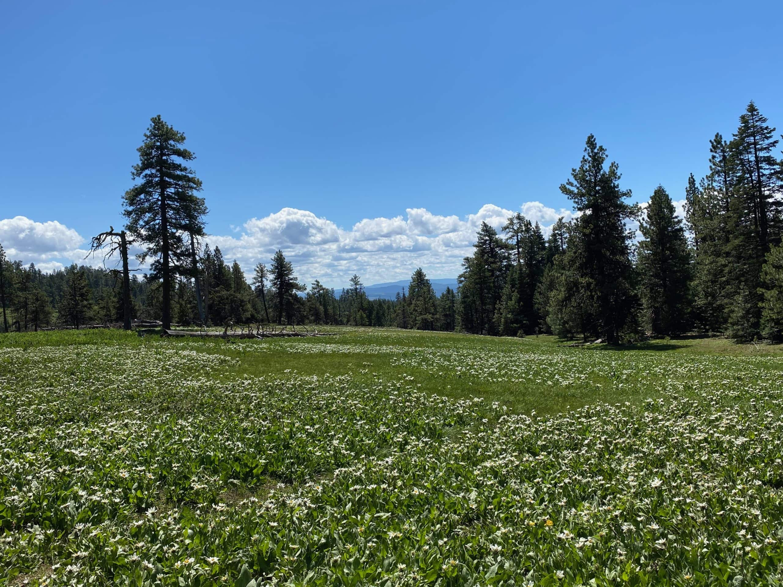 A field of white wildflowers in the Ochoco National forest near Prineville, Oregon.