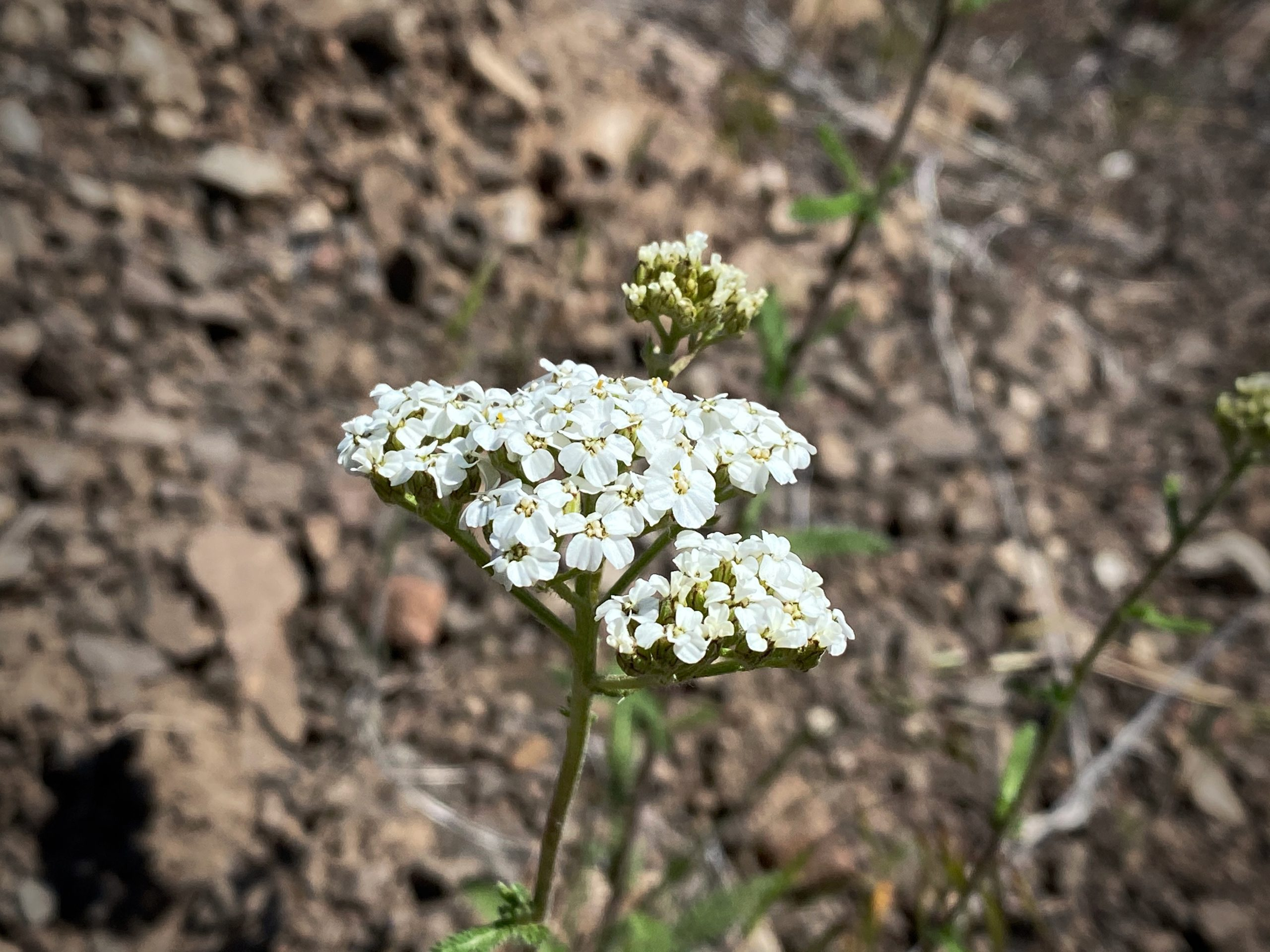 Wildflowers from the Ochoco National forest.