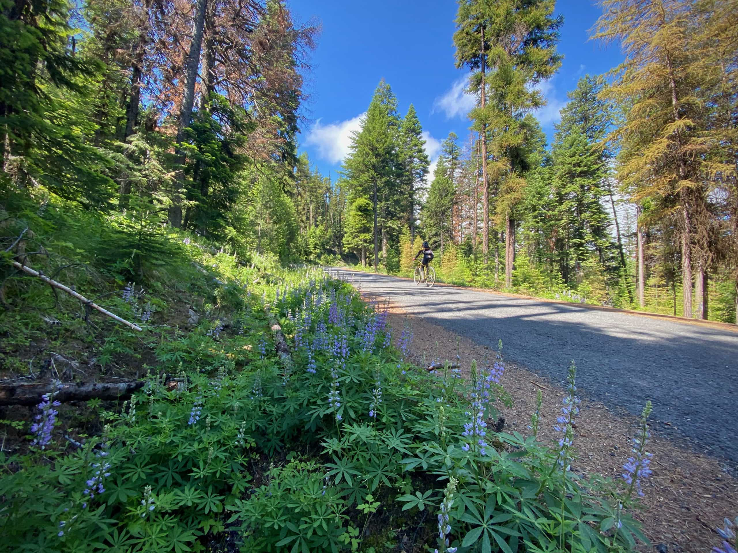 Cyclist climbing up paved road in the Ochoco National Forest. Buck Point road. NF 12.