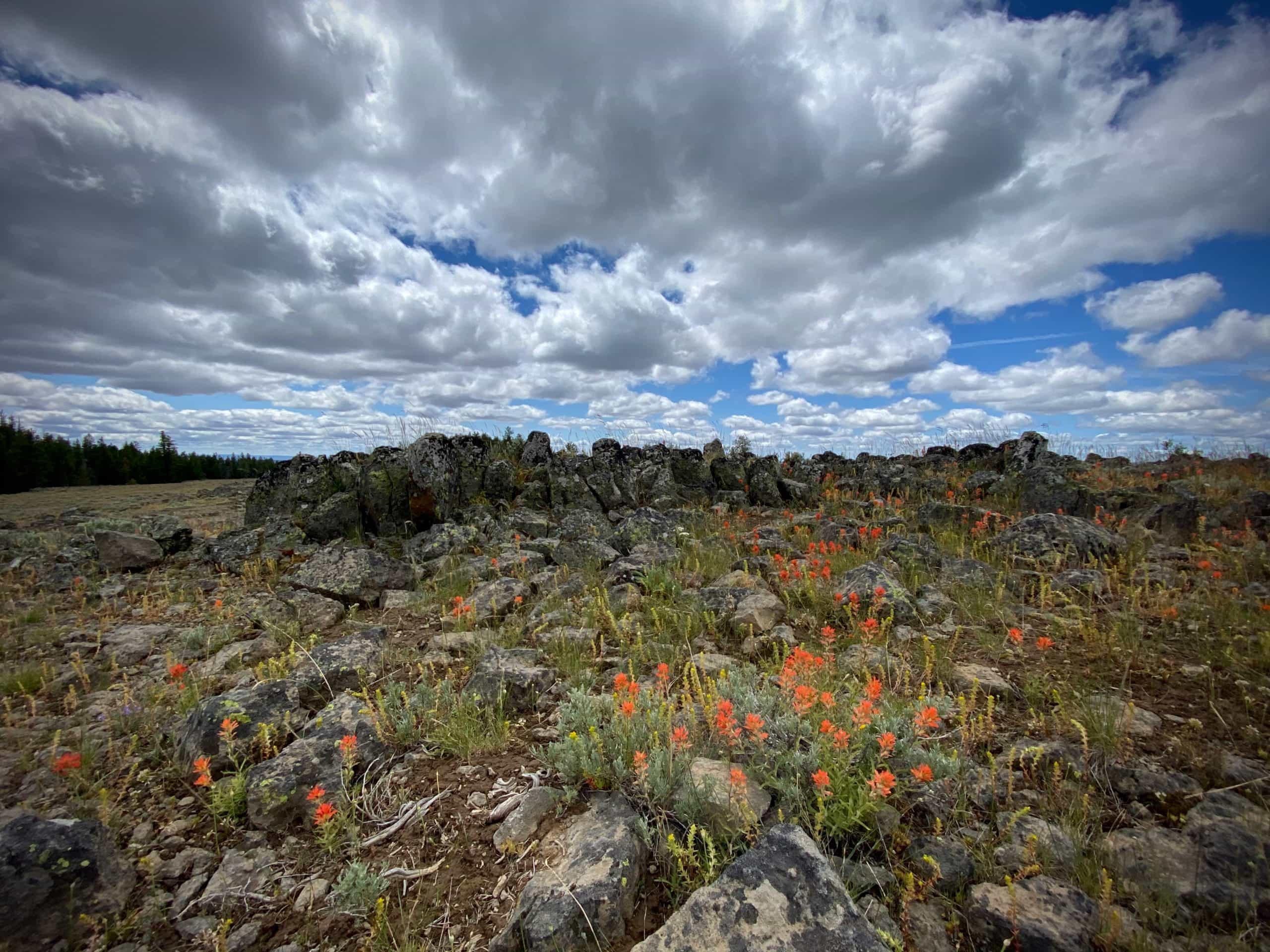 Red flowers at volcanic tuft in the Peterson Lava flow in the Ochoco mountains near Prineville, Oregon.