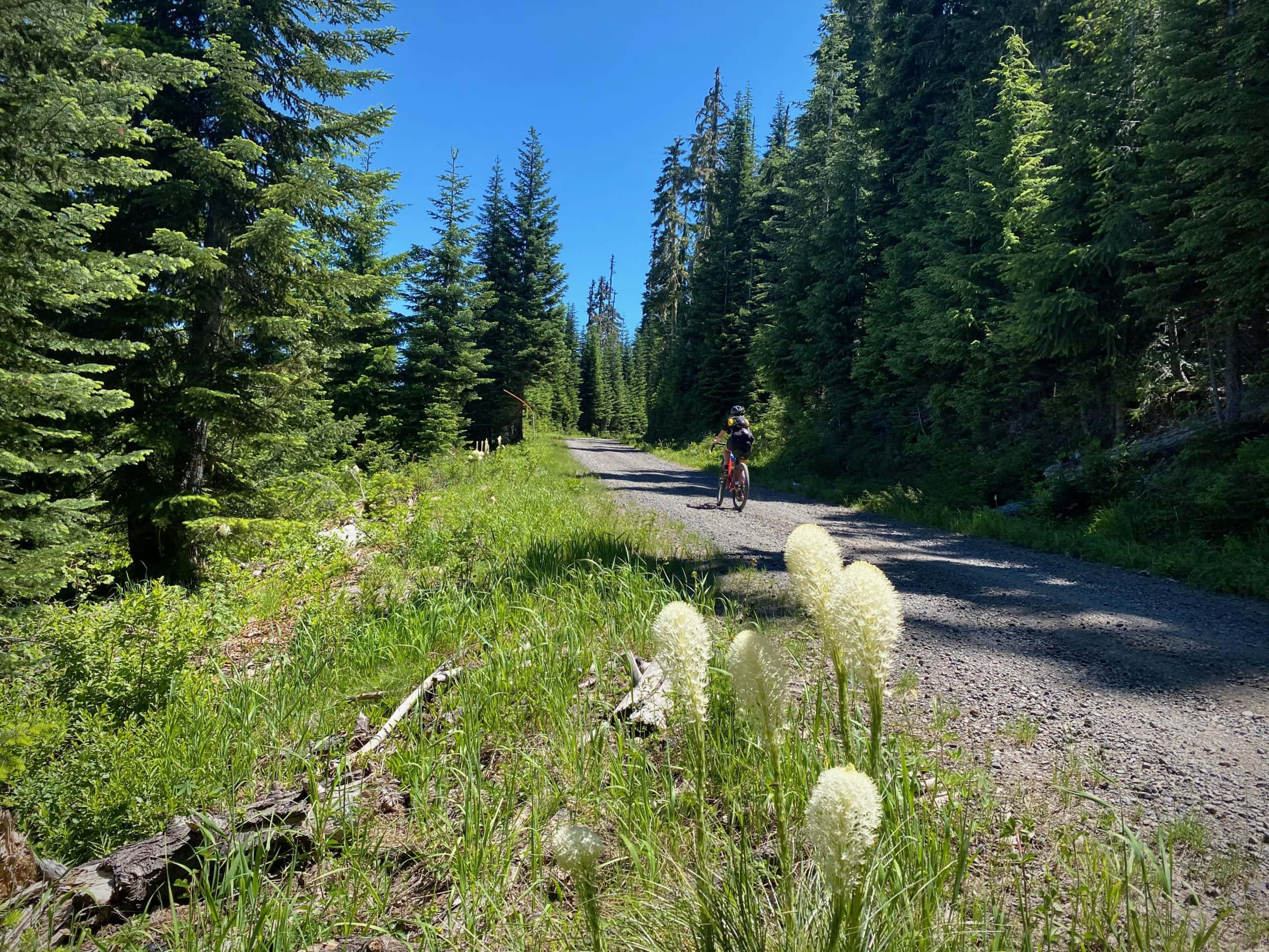 Bike rider on gravel road in the Willamette National Forest with white bear grass in the foreground.