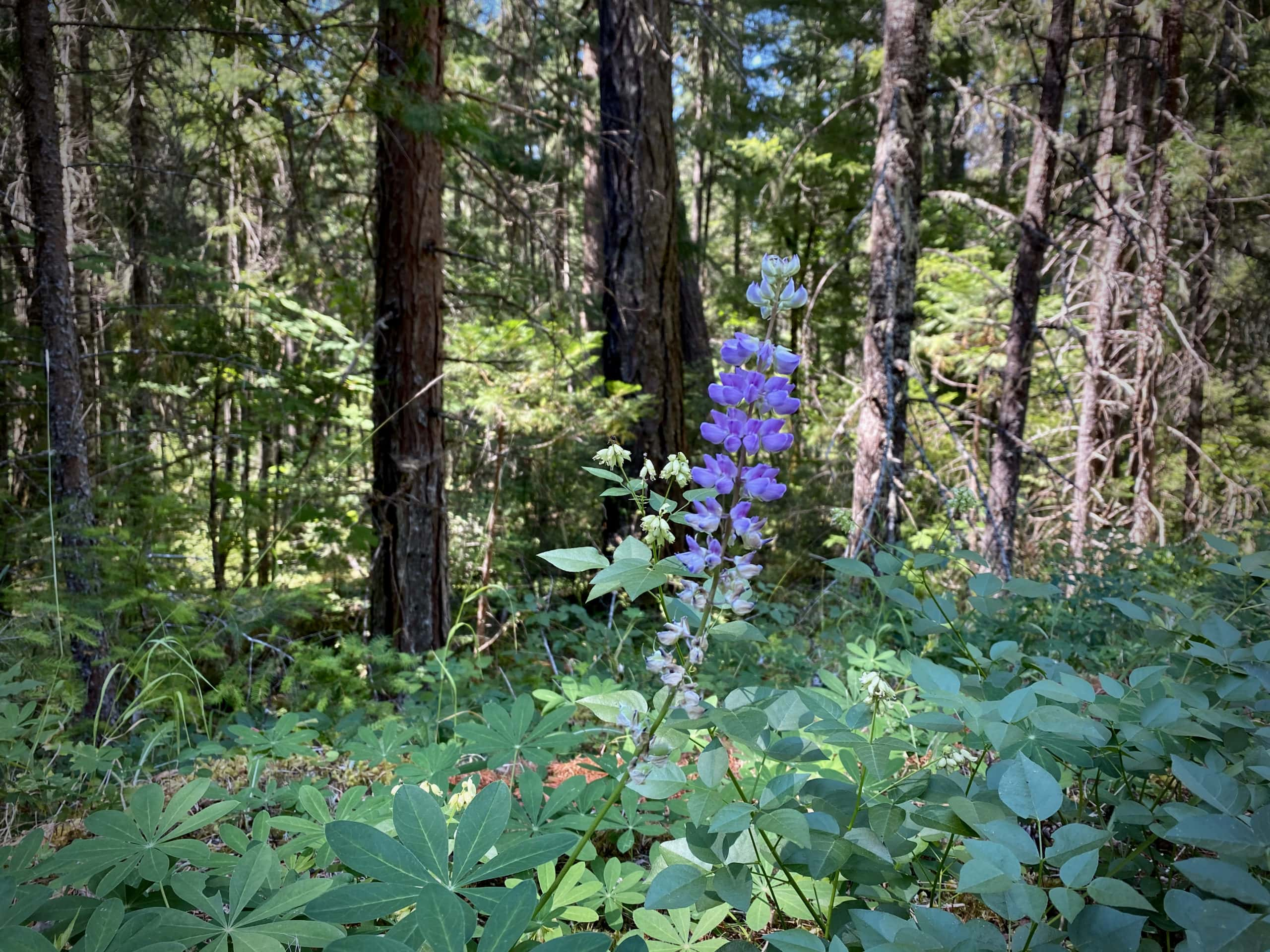 Purple flower along NF 23 in the Willamette National Forest.