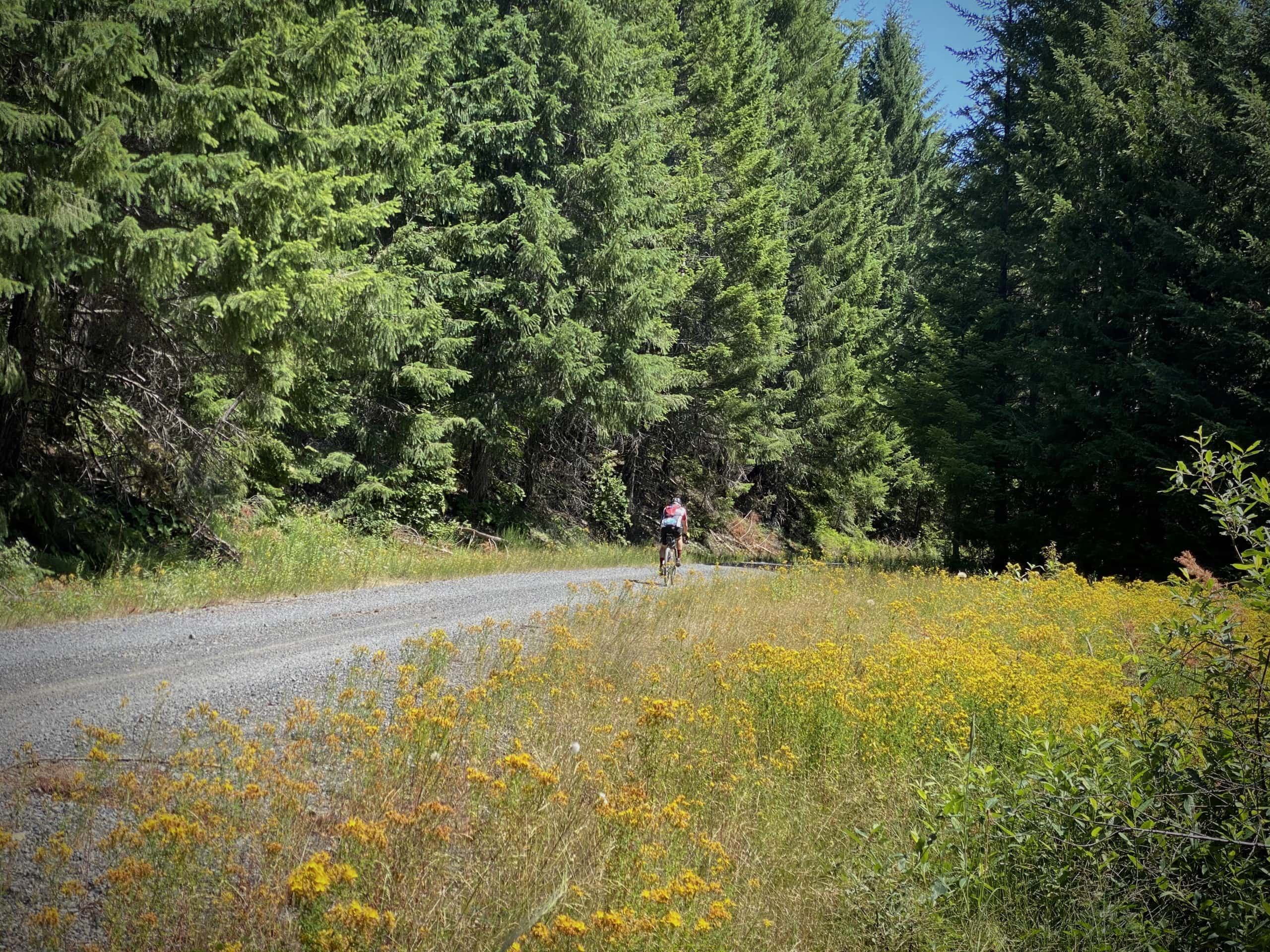 Gravel cyclist in background, yellow flowers in foreground. Along NF 23 near Oakridge, Oregon.