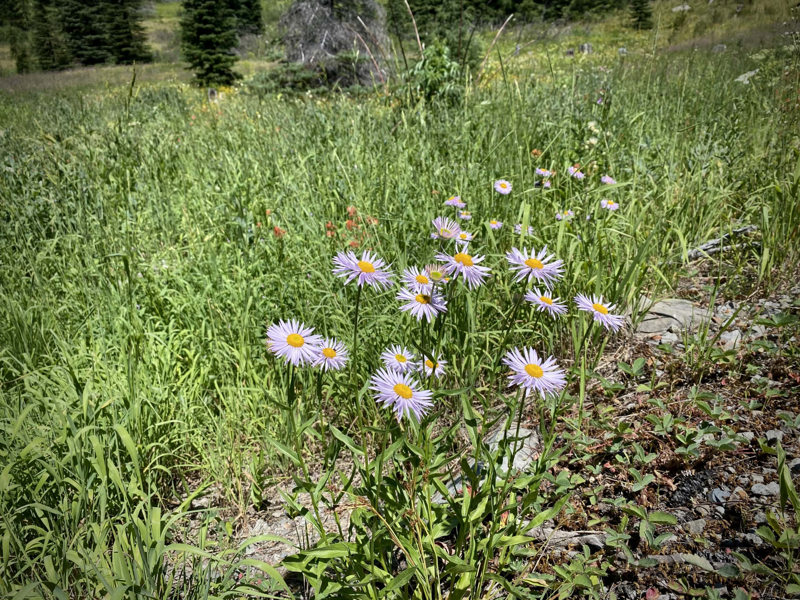 Pink daisies at mountain meadow along NF 23.