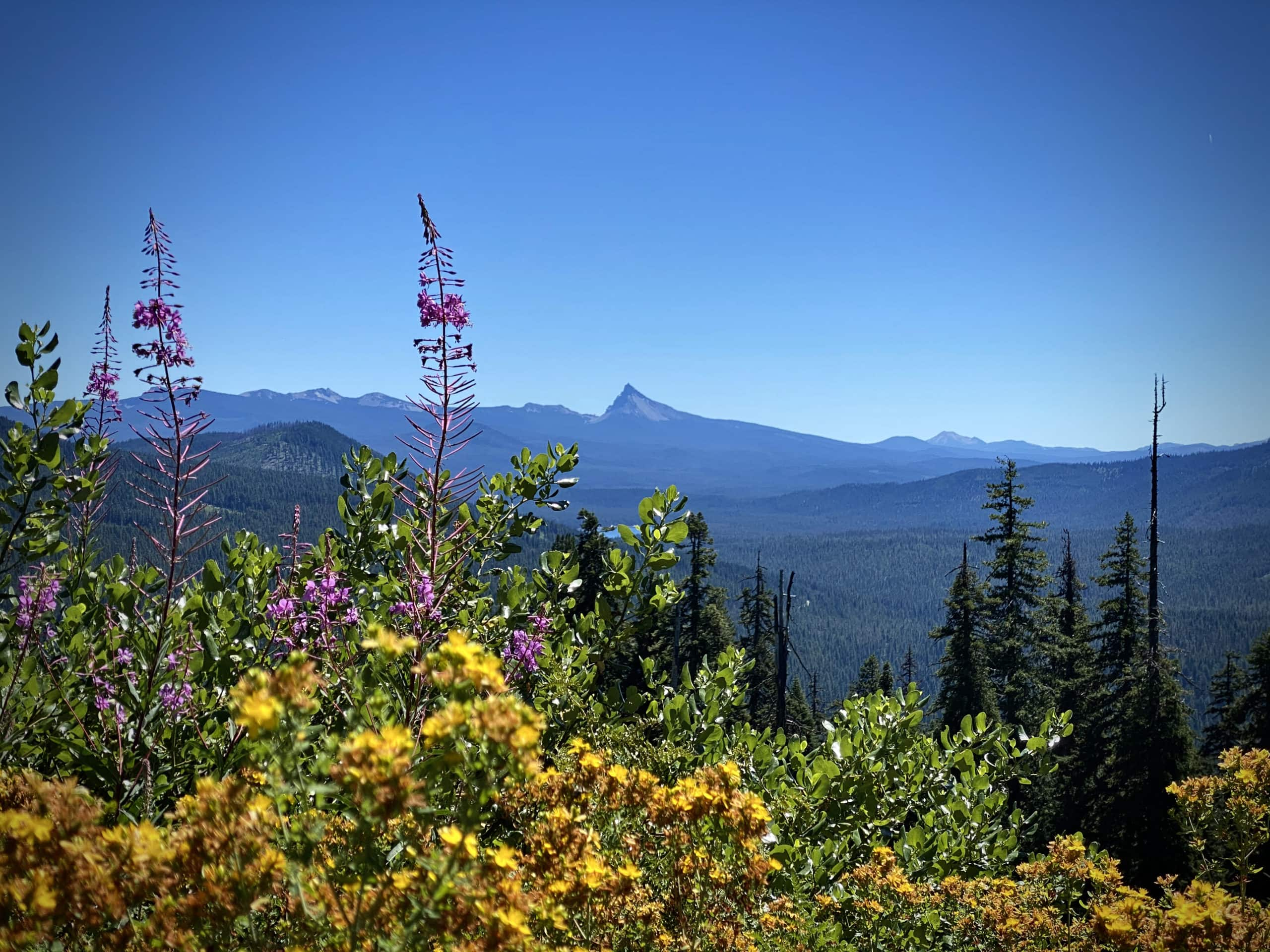 A distant view of Mt Thielsen with flowers in foreground.