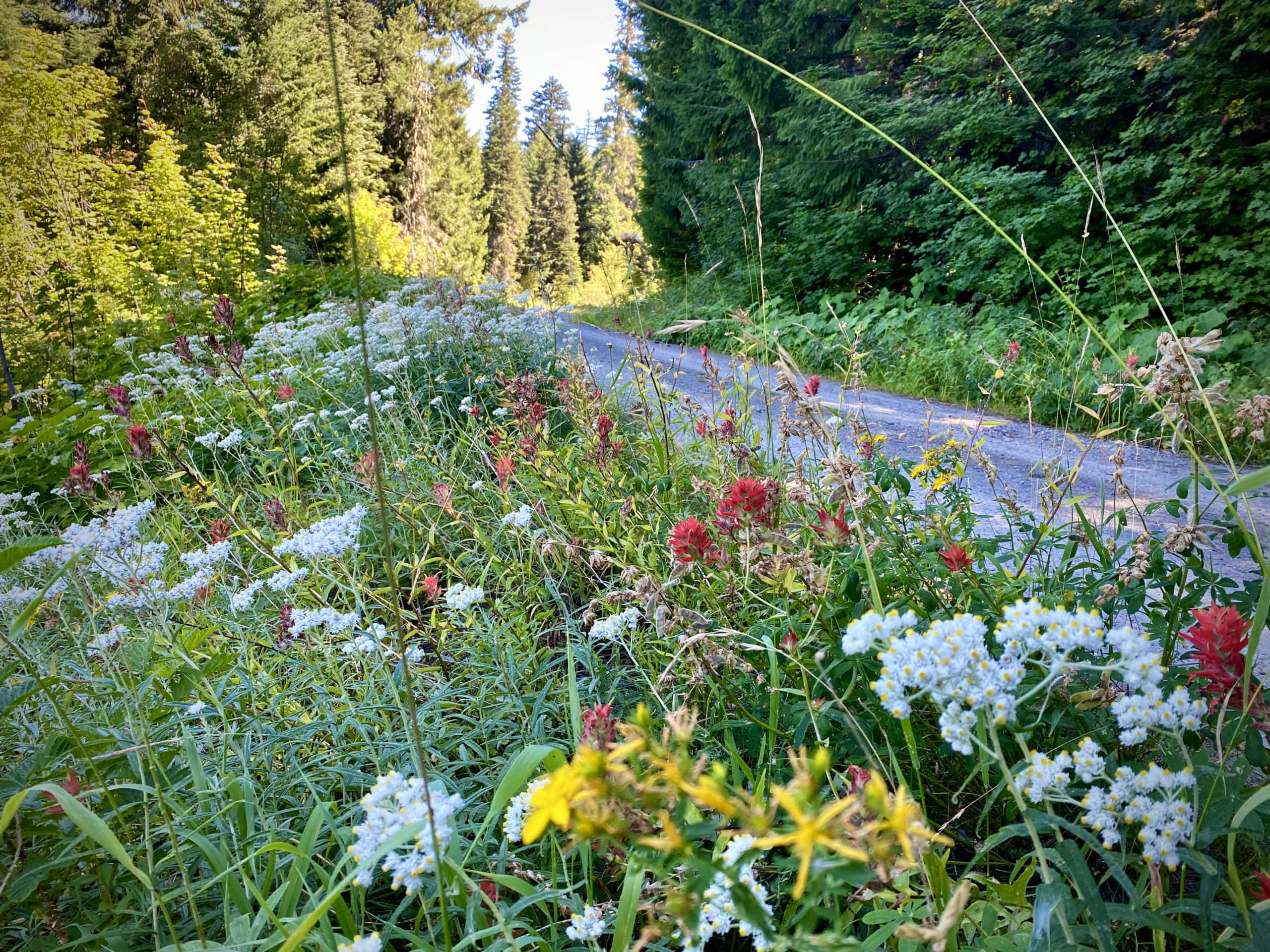 Red, white, and yellow flowers at Holland Meadow in the Willamette National Forest.