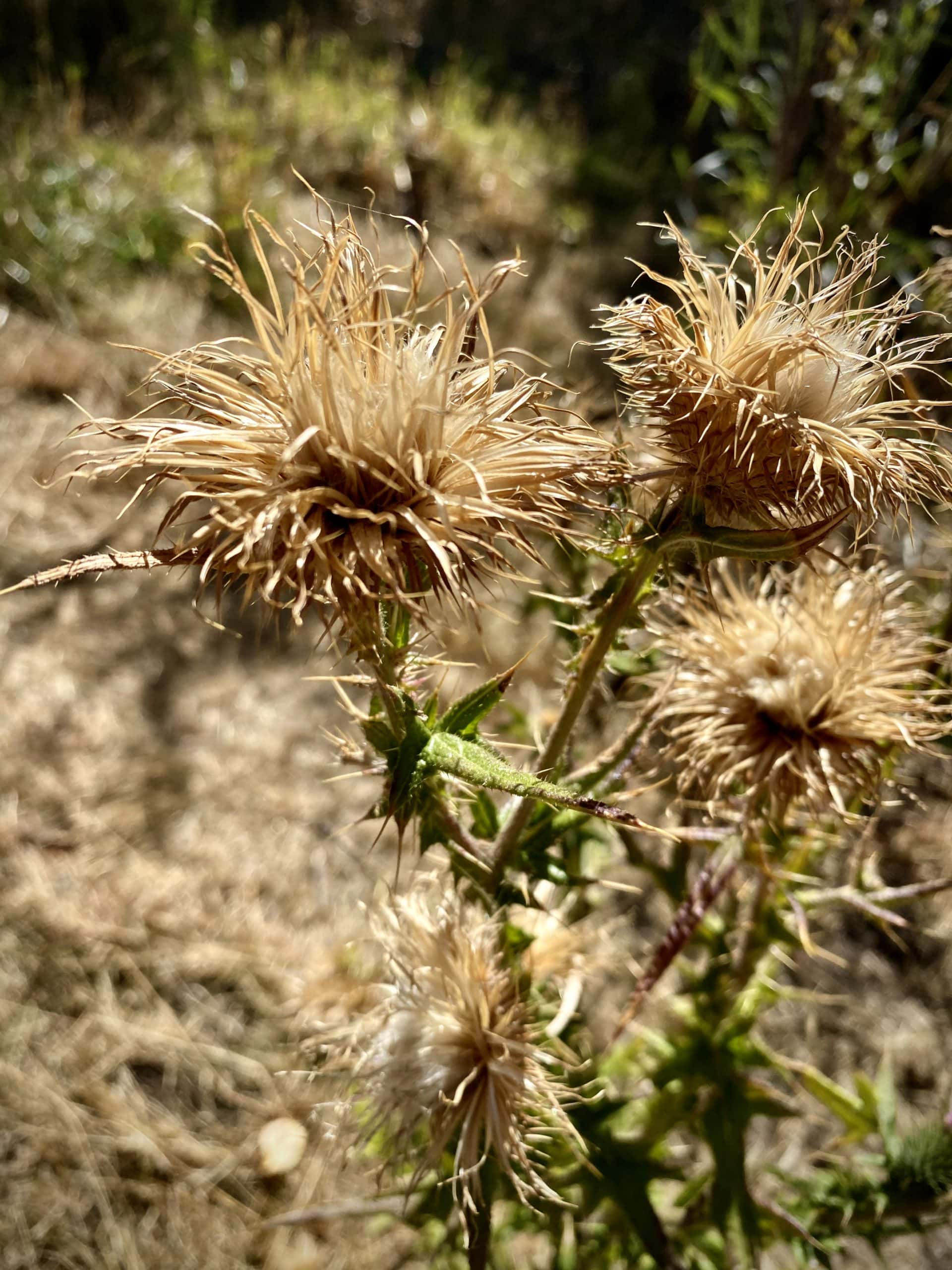Thorny looking bush in the high desert of eastern Oregon.
