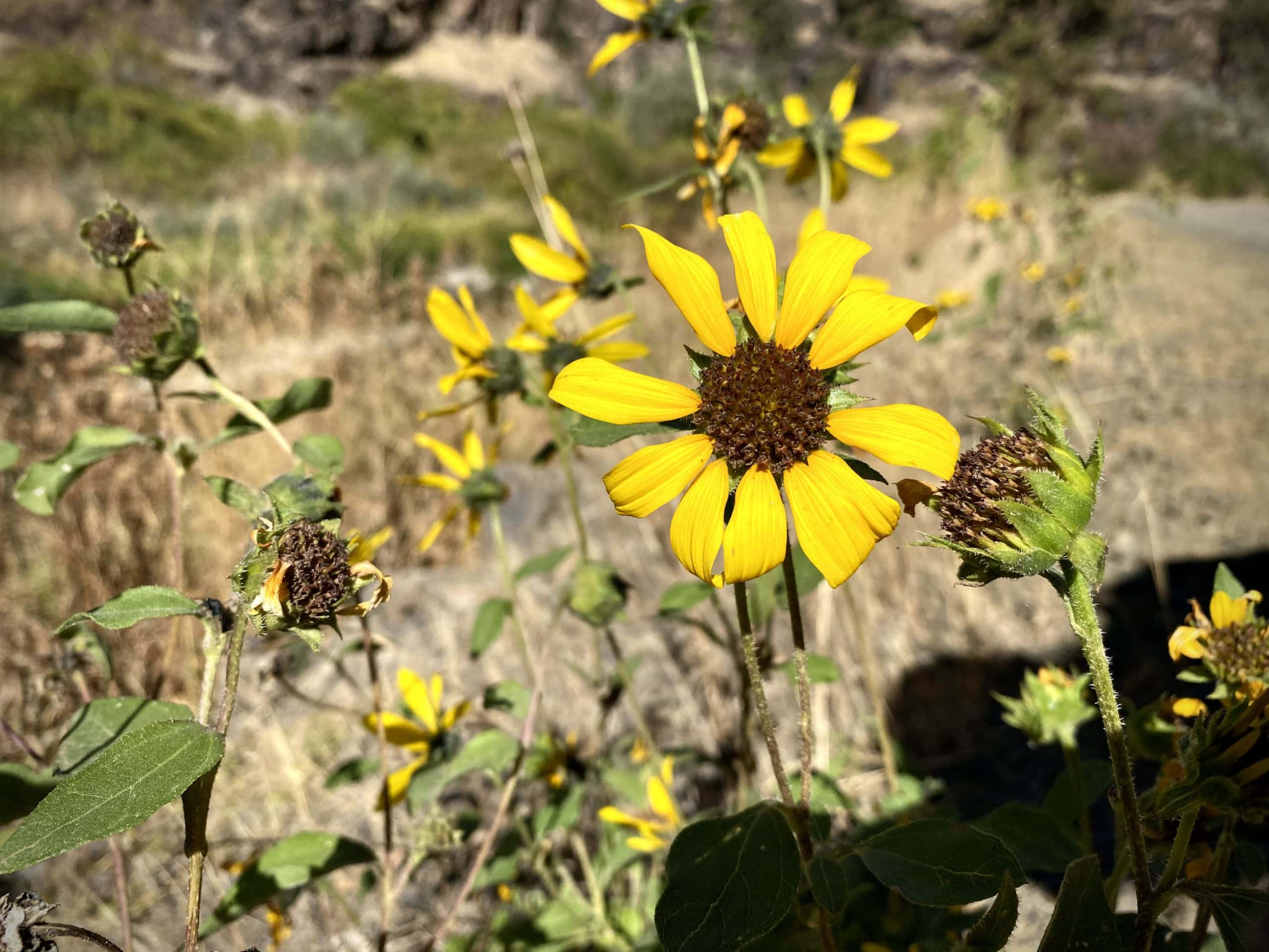 Yellow daisy along the South Fork of the John Day river.