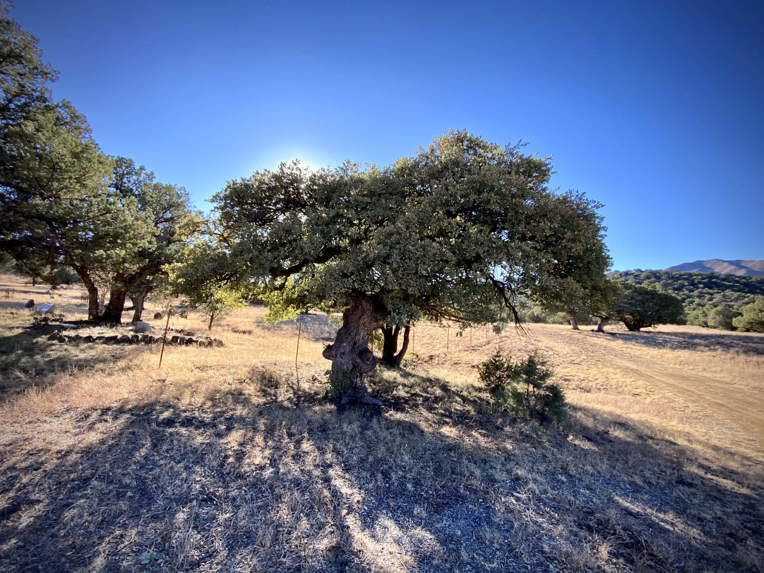 Big oak tree in the Chiricahua Mountains of the Coronado National Forest.