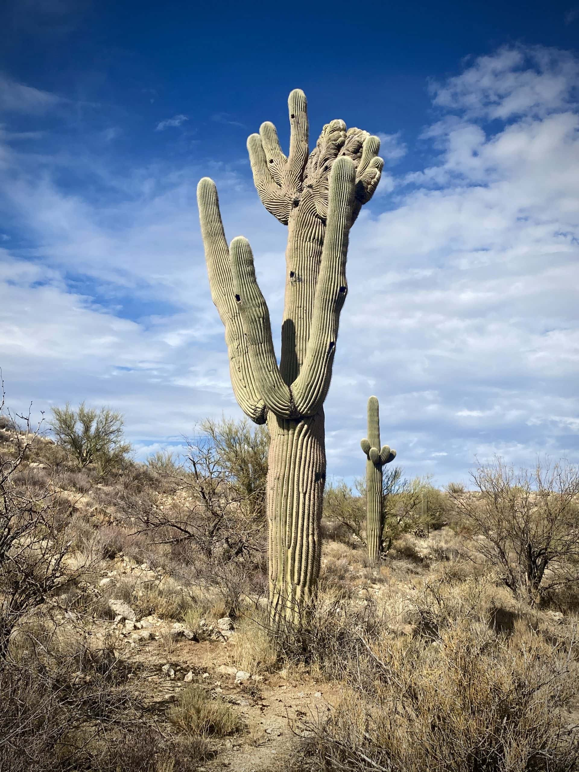 Crested Saguaro cactus on 96 Ranch Road.