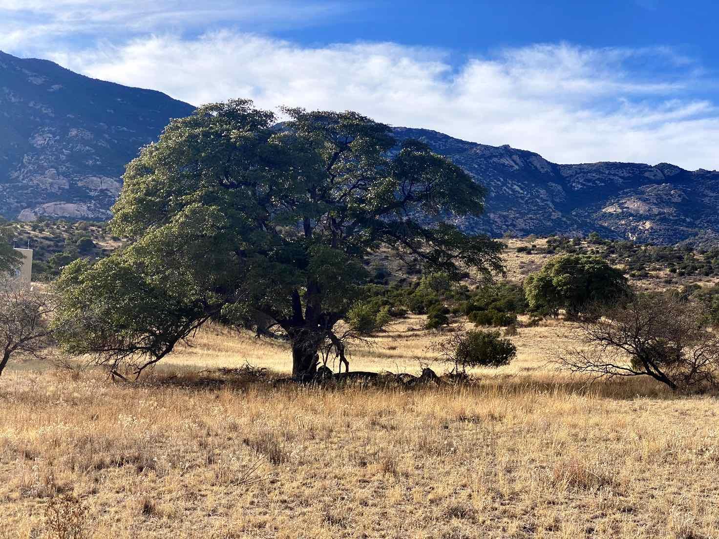 A big oak tree in Happy Valley off of Mescal road.