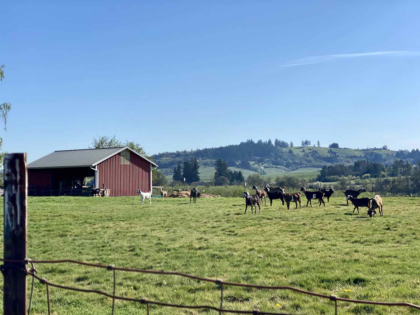 Red barn with goats in the north Willamette Valley of Oregon.