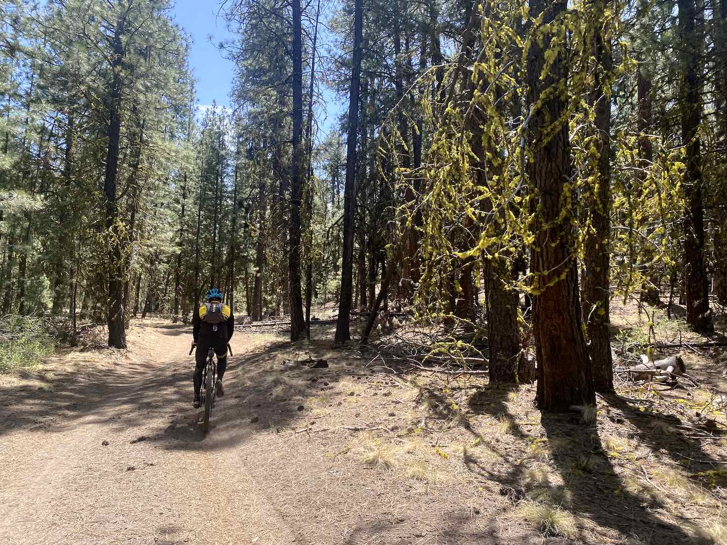 Wolf moss hanging from trees as gravel cyclist rides by.